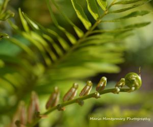 Christmas Fern - Bud MMP x2