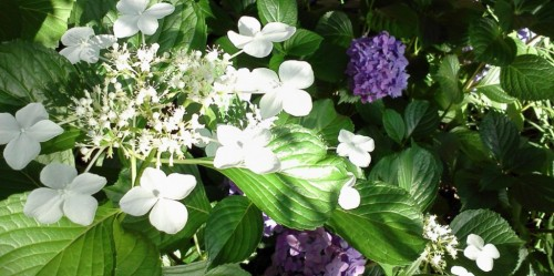 cropped-cropped-cropped-white-lacecap-purple-hydrangea-for-blog.jpg