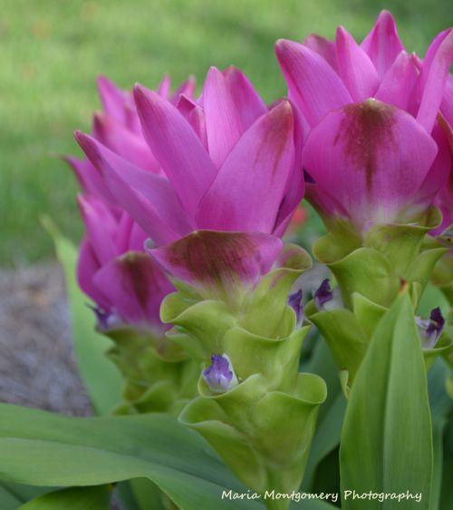 Ginger - Siam Tulip 1 MMP2
