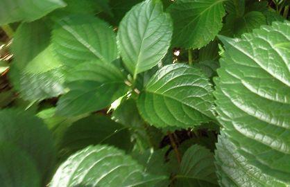 Hydrangea Leaves 2