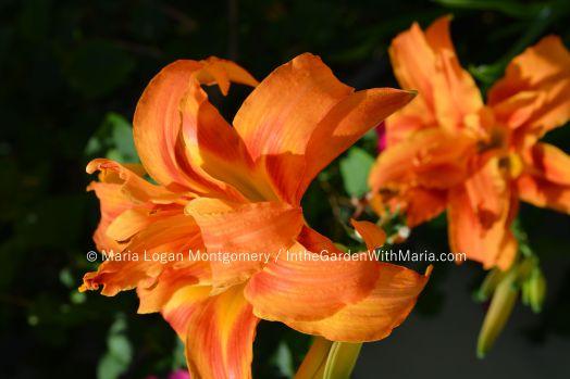 Orange Double - mlm c @
