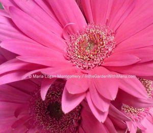 Pink Gerbera - mlm c@
