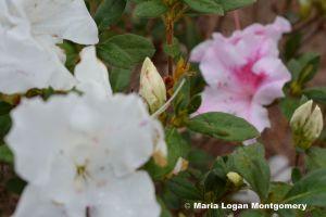 Azalea, Pink & White