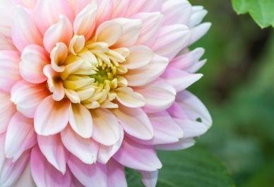 Dahlia - Pink