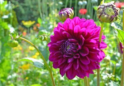 Dahlia - Purple