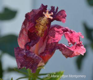 Hibiscus - frozen MLM
