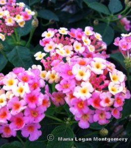 Lantana - pink & yellow mlm