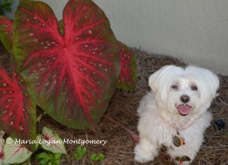 CC and Caladiums - mlm
