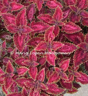 Coleus Along Path