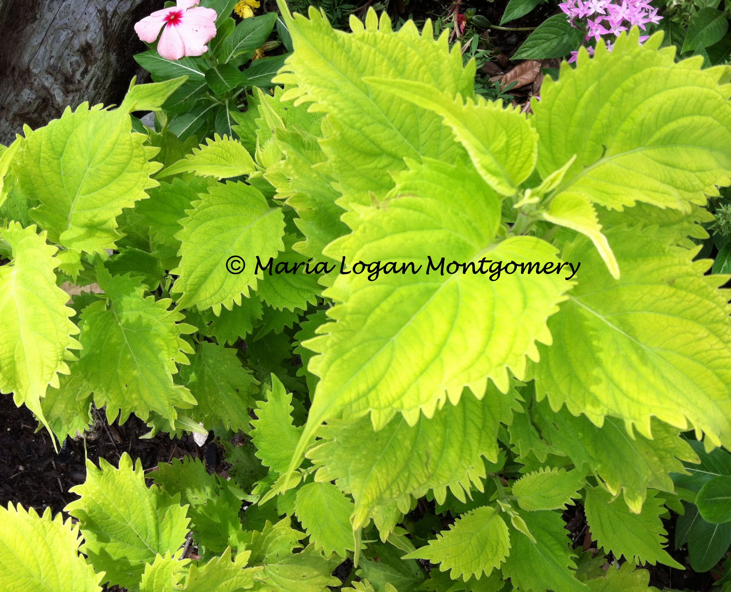 100 Garden Plants Names And Pictures Hosta Wikipedia Mimosa Pudica Wikipedia Garden