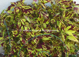 Compost Coleus 2 - mlm