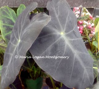 Elephant Ears - Black - mlm