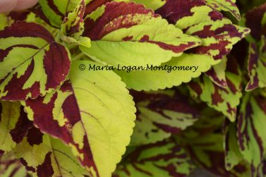 Paint Brush Coleus - mlm