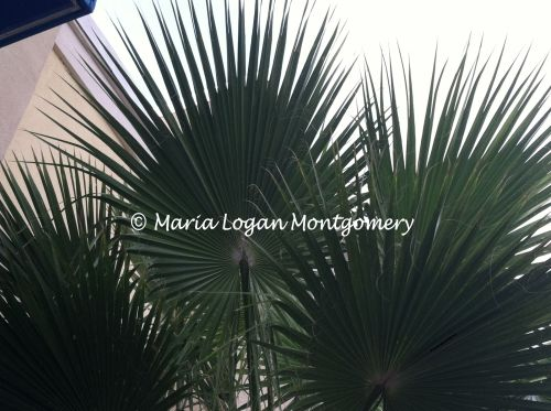 Palmate Palm Leaf - mlm 2