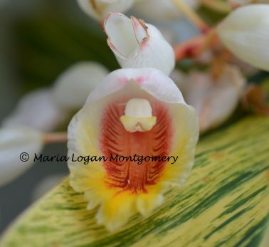 Variegated Ginger Flower - mlm