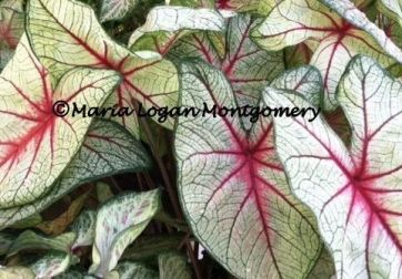 White Caladiums cropped - mlm