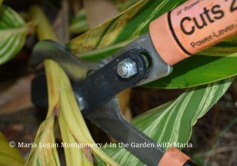 Here, loppers are being used to cut the thick cane just above a healthy leaf.
