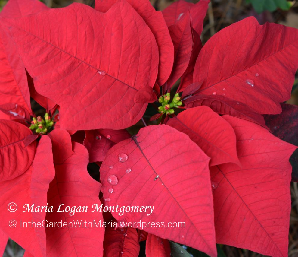 Poinsettia, red - mlm