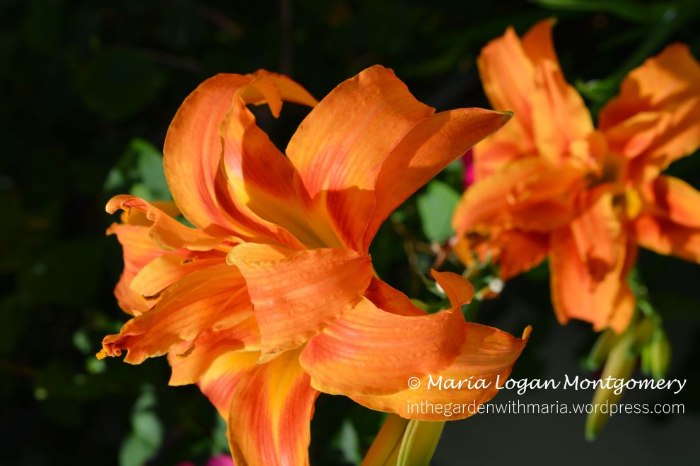 Star Day Lily - mlm