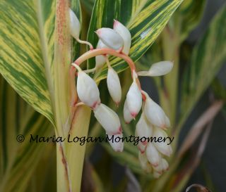 Variegated Ginger Flowers - mlm