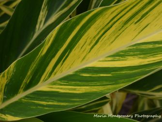 Variegated Ginger Leaf MMP x2