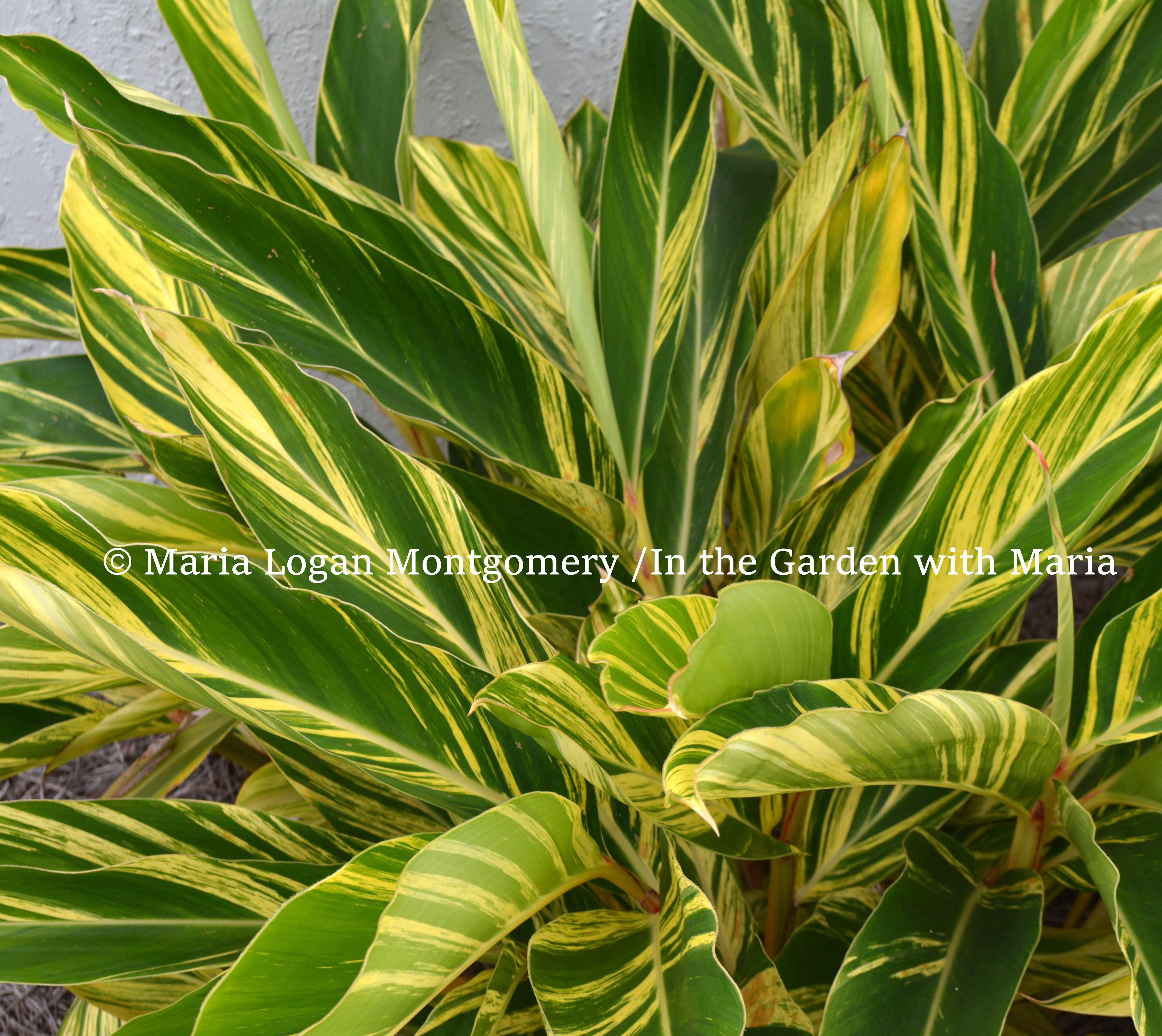 How to prune variegated ginger in the garden with maria variegated ginger mlm izmirmasajfo Images