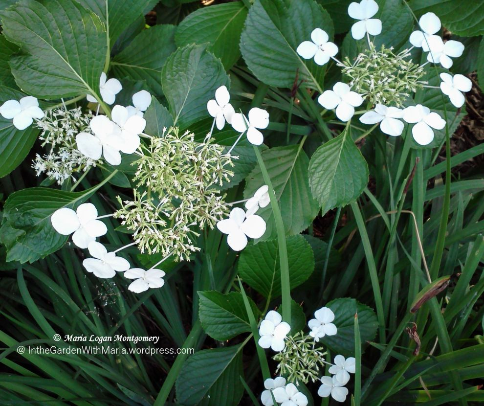 White Lacecaps - mlm