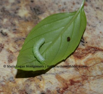 Basil with Worm - mlm c