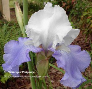 Dark & Light Lavender 2 - mlm