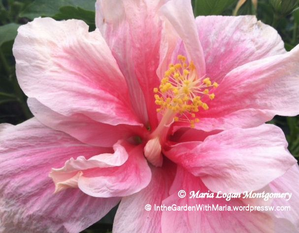 Hibiscus - Pink Double - mlm