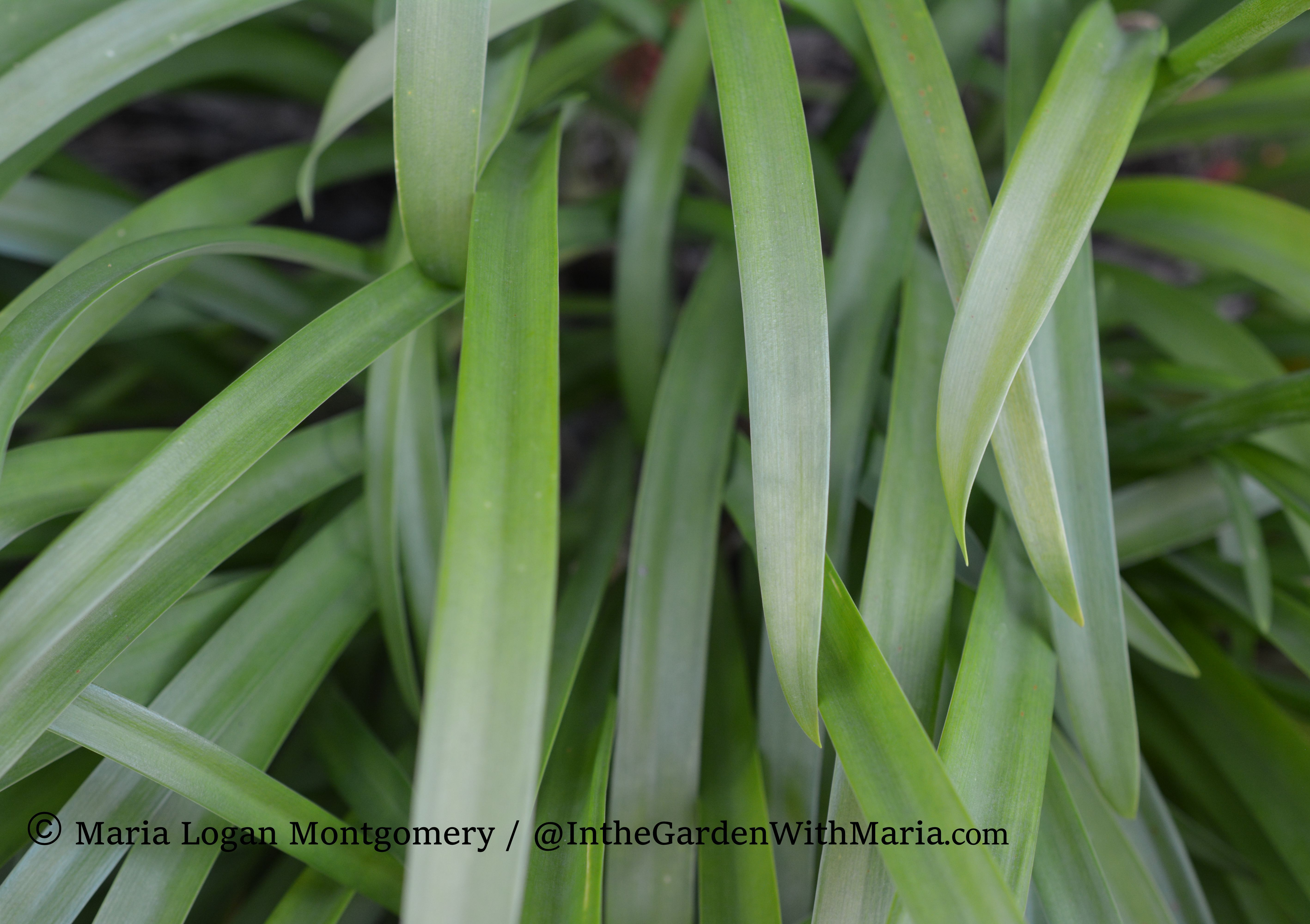 Lily of Nile Leaves- mlm