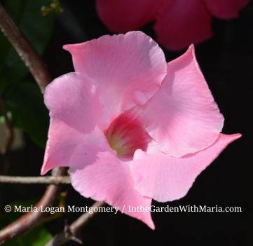 Mandevilla - New Bloom - mlm c