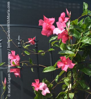 Mandevilla on Trellis - mlm c