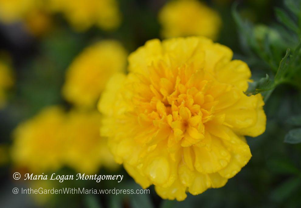 Marigolds - mlm