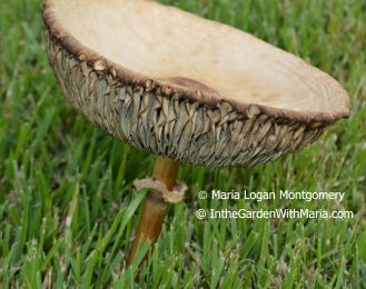 Mushroom Enlarged