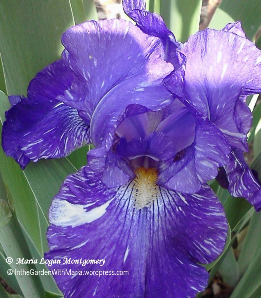 Purple Batik - mlm