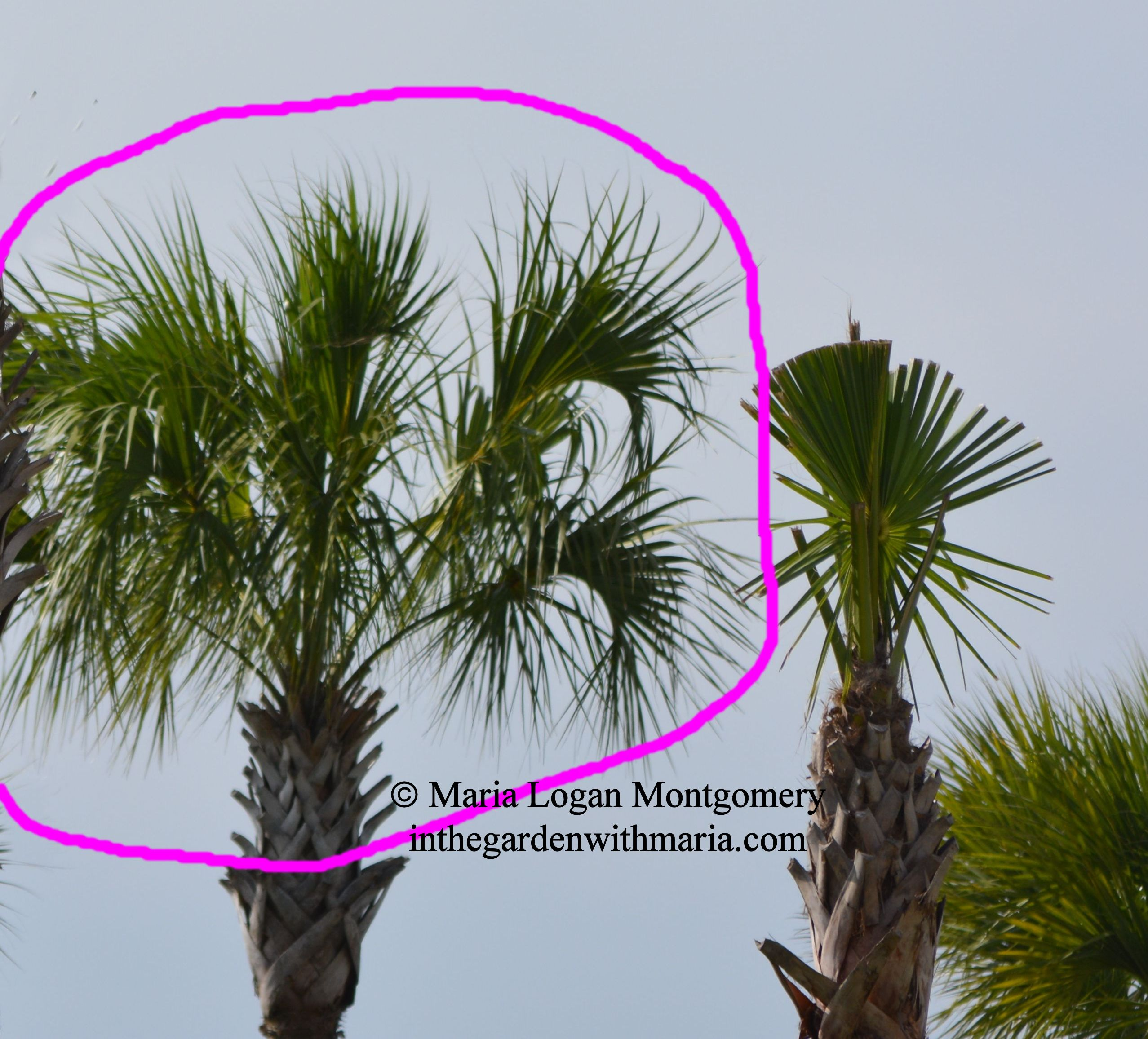 Palms When to Prune When Not to Prune In the Garden with Maria