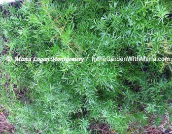 Asparagus Fern - mlm c @