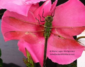 Dragon Fly - mlm c