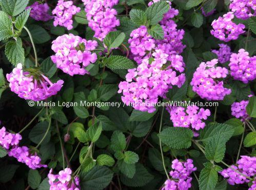 Lavender - mlm c@