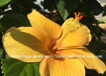 Yellow Hibiscus - mlm c @
