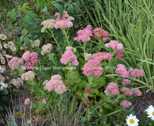 Autumn Joy Sedum - mlm c@