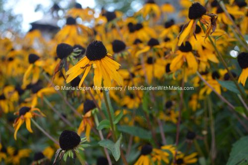 Brown-Eyed Susans - mlm c@