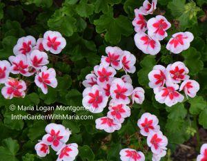 Geraniums - wht w pink ctr - mlm c@