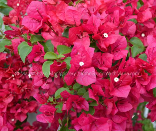 Hot Pink - full bloom - mlm c@
