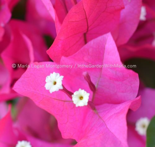 Hot Pink - zoomed 2 mlm c@