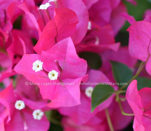 Hot Pink - zoomed mlm c@