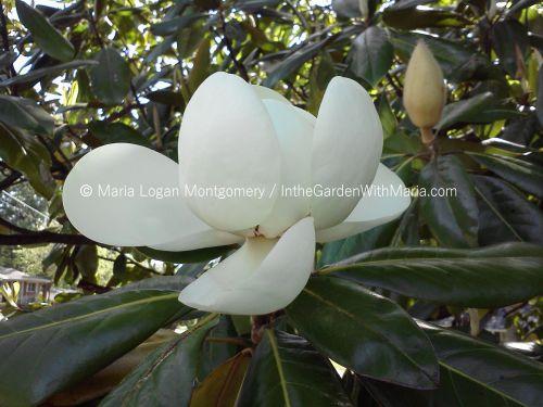 Magnolia Blossom - mlm c@