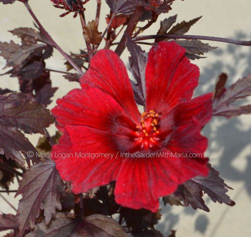 New Hibiscus Flower mlm c@