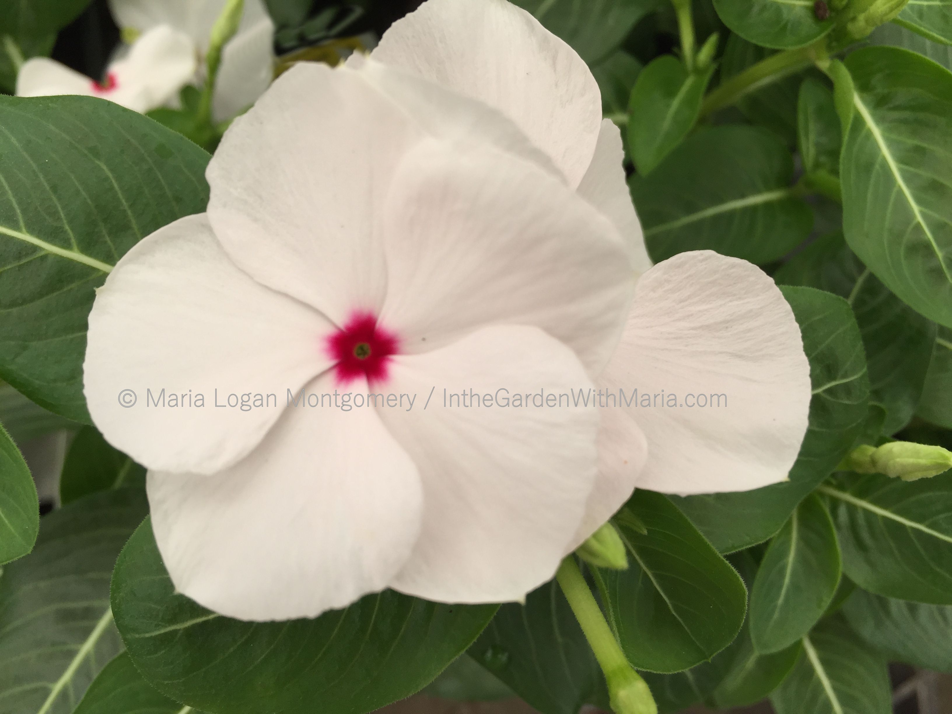 White flowers in the garden with maria peppermint vinca mightylinksfo Choice Image